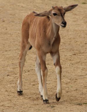 Kleine Antilope.