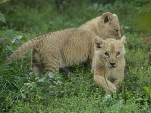 Zwei kleine Berberlöwen im Gras.