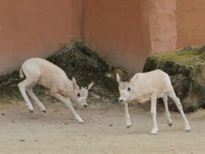 Junge Addax-Antilopen beim Spielen.