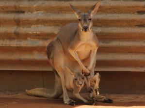 Riesenkänguru mit Nachwuchs im Beutel
