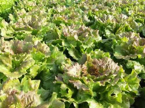 Ein Salatfeld.