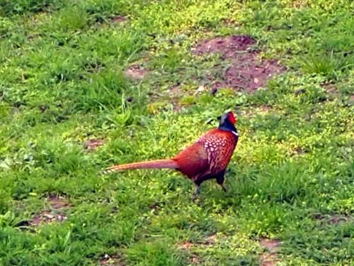 Ein Fasanenmännchen läuft über Gras. Der Kopf leuchtet in den Farben Rot und Blau, das Gefieder ist braun mit weißen Flecken.
