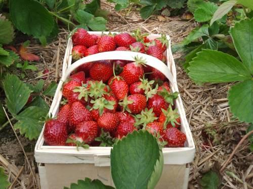 Erdbeeren in einem Spannkorb im Erdbeerfeld