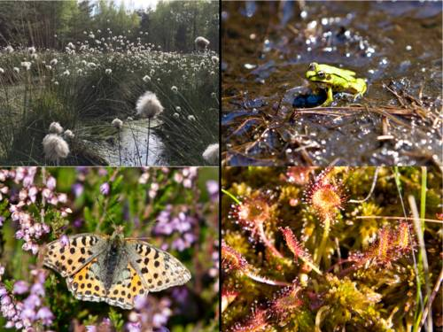 Collage aus Pflanzen und Tieren des Moores