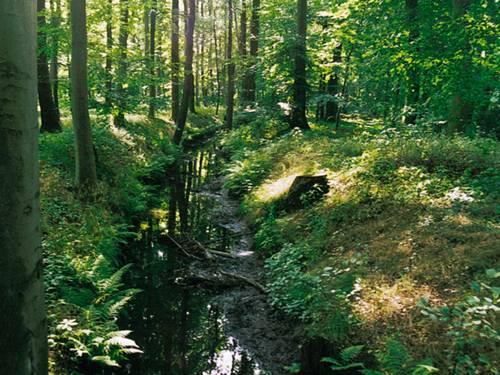 Graben mit Farnen im Wald