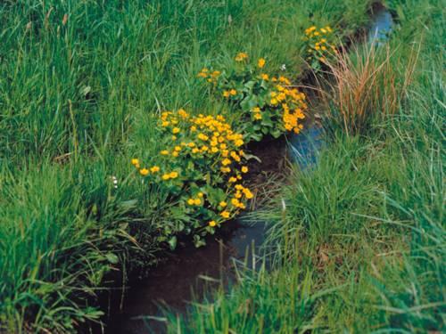 Gelde Wiesenblumen an einem schmalen Flüsschen