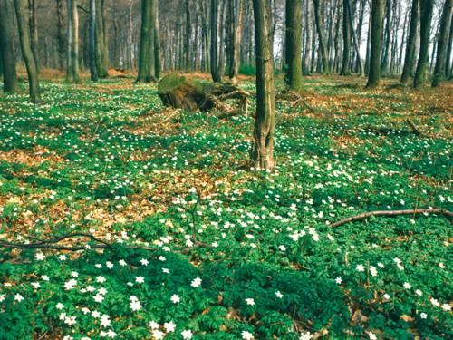 Waldboden mit weissen Blüten