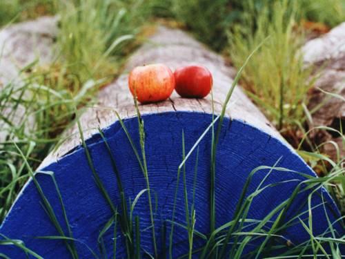 Zwei rotwangige Äpfel, die auf einem blau angemalten Stamm liegen