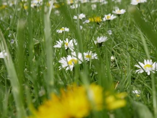 Gras, weisse Blütenköpfe mit gelbem Stempel, im Vordergrund eine gelbe Blüte