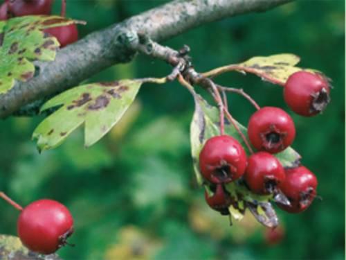 Weißdorn Fruchtstand