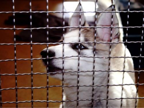 Ein weißer Hund mit spitzen Ohren und blauen Augen hinter einem Gitter.