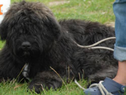 schwarzer, wuscheliger, angeleinter, im Gras liegender Hund
