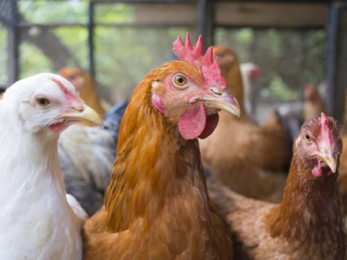 Ein weisses und zwei braune Hühner im Stall, im Hintergrund weitere Hühner