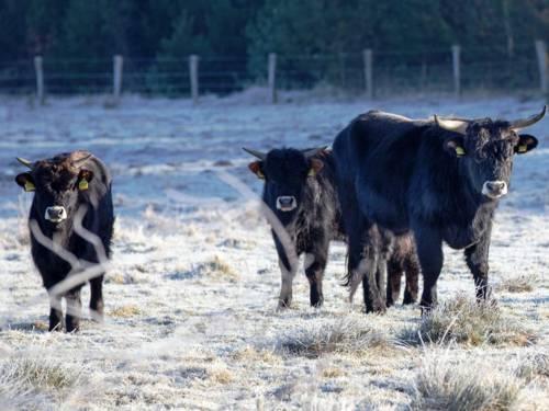 Drei Rinder in winterlicher Landschaft.