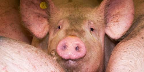Ein Schwein blickt in die Kamera, es steht zwischen weiteren Schweinen. Im rechten Ohr trägt es eine gelbe Marke.