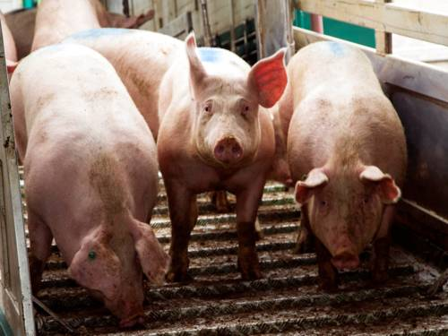 Drei Schweine stehen auf einer Rampe aus gewelltem Profilblech. Die beiden äußeren Tiere schauen nach unten, das mittlere Schwein blickt in die Kamera.