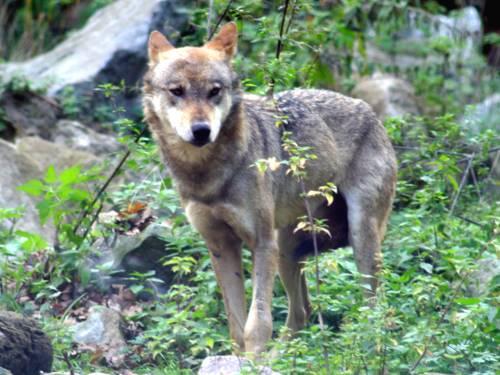 Ein Wolf schaut an der Kamera vorbei.