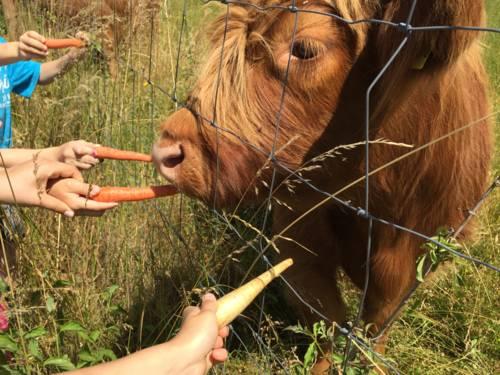 Kinderhände mit Möhren, ein Rind hinter einem Weidezaun, das gefüttert wird