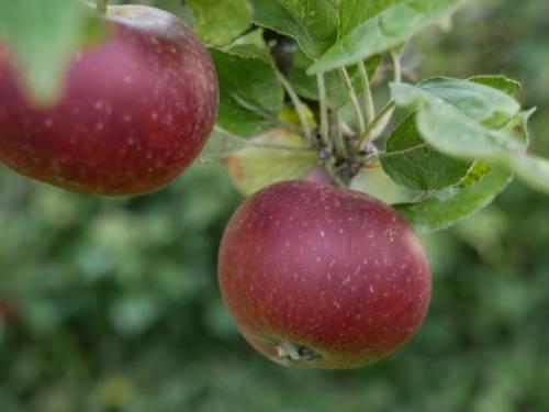 Zwei reife Äpfel am Baum