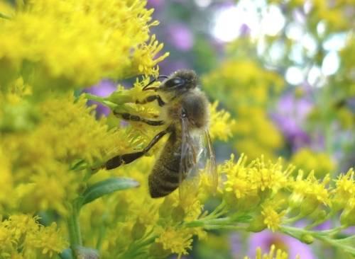 Nahaufnahme einer Honig sammelnden Biene