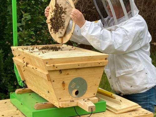 Person, die eine Scheibe mit Bienen aus einem Stock entnimmt.