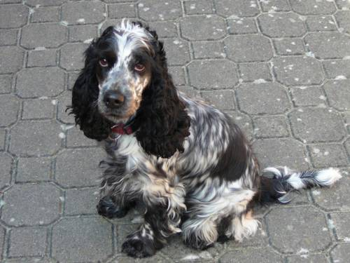 Ein schwarz-grau-weiß gefleckter Hund, der auf einem Steinboden sitzt