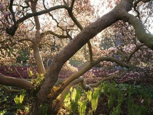 Magnolie im Paradies