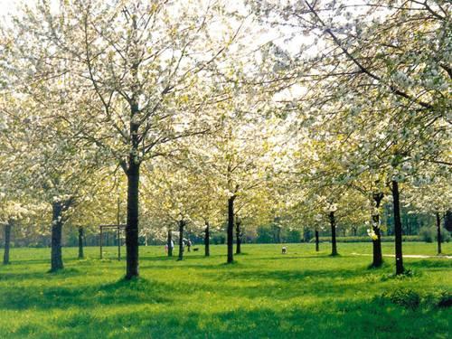 Kirschebäume im Hiroshima Gedenkhain