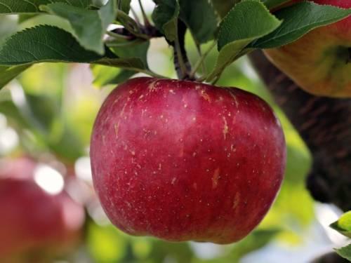 Apfel an einem Ast.
