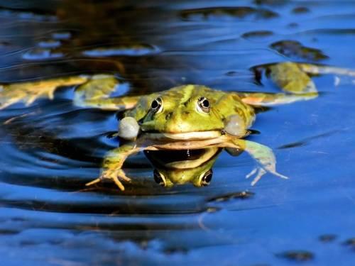 Frosch in einem Teich.
