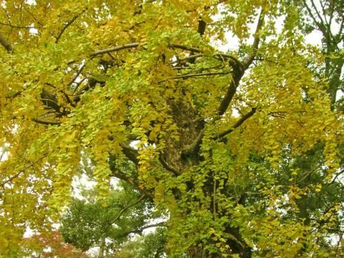 Ausgewachsener Ginkgo-Baum im Herbst