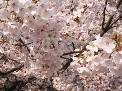 Kirschblüte in Nahaufnahme
