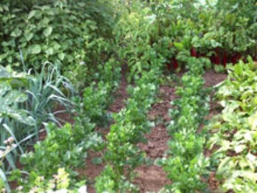 Mischkultur im Kleingarten: Salatpflanzen, Kohl, Zwiebeln und anderes Gemüse im Beet
