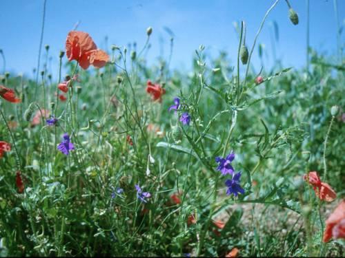 Mohnblumen und Ackerwinde auf einem Getreidefeld.