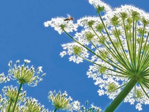 Die Pflanze Riesenbärenklau wird von einem Insekt angeflogen