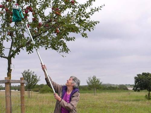 Eine Frau, die mit einer Erntehilfe Äpfel vom Baum pflückt.