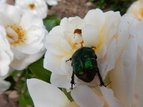 Großer grün-metallic glänzender Käfer auf einer gelben Rose.