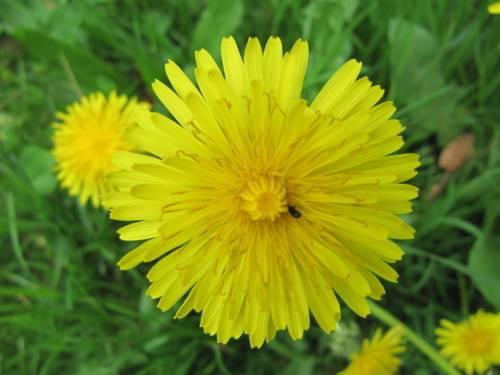 Große gelbe Blüte eines Löwenzahns