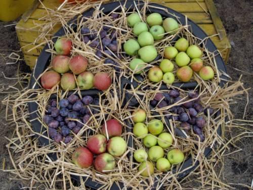 Äpfel und Pflaumen liegen auf Stroh zwischen den Speichen eines Holzrads