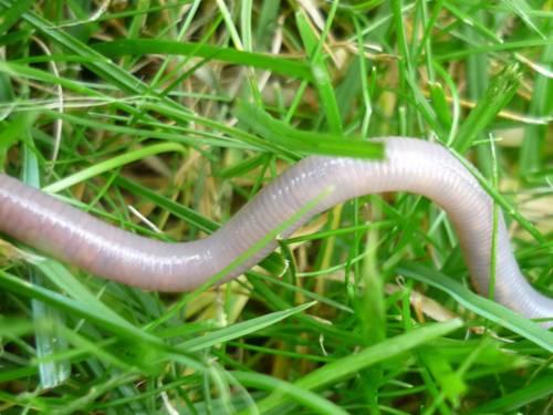 Ein Regenwurm im Gras