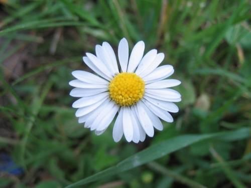 Blüte eines Gänseblümchens in Nahaufnahme