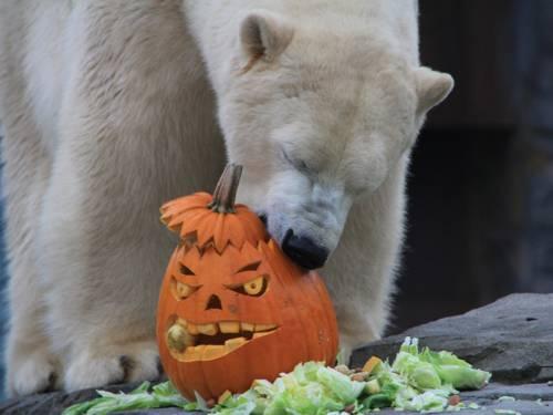 Eisbär mit Kürbis.