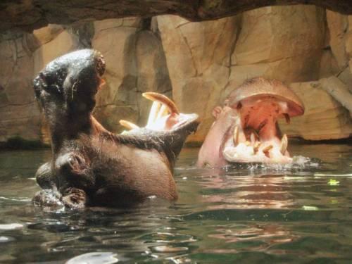 Zwei Flusspferde.