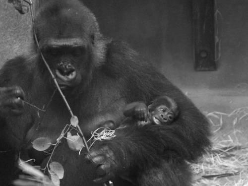 Gorillababy in den Armen seiner Mutter.