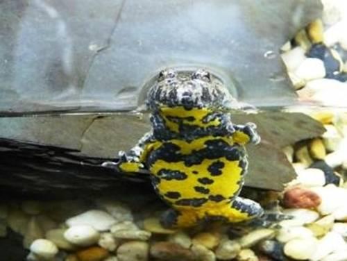 Gelbschwarzer Frosch im Wasser