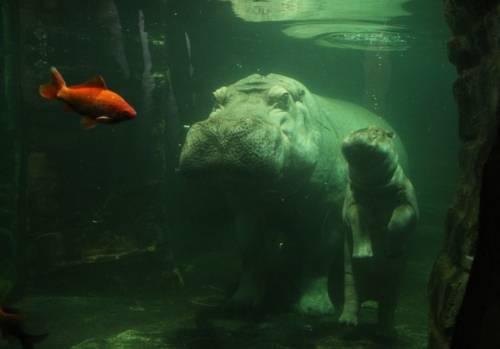 Eine Flusspferd mit seinem Nachwuchs im Wasser.