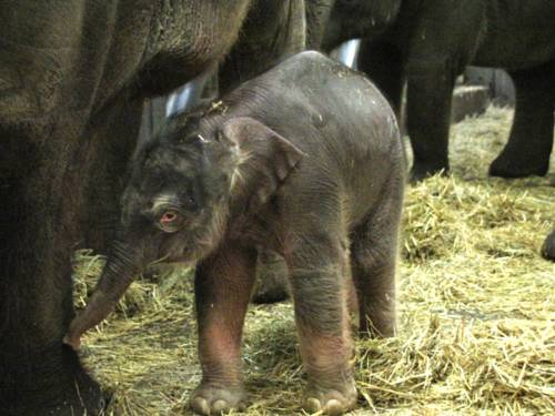 Ein Elefantenkalb.