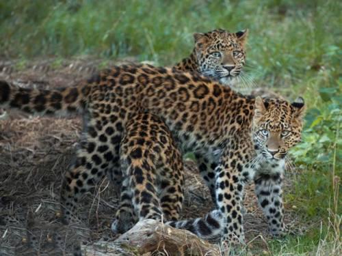 Zwei Leoparden.
