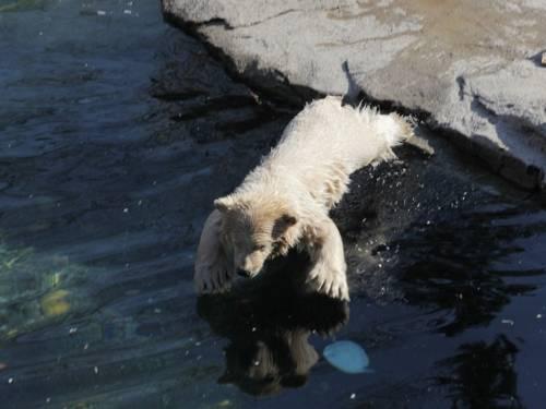 Eisbär-Baby springt ins Wasser.
