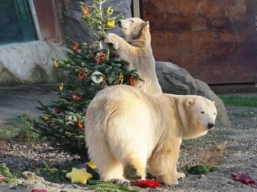 Zwei Eisbären mit einem geschmückten Tannenbaum